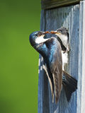 Tree Swallows Stock Photography