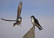 Tree Swallows (Tachycineta Bicolor) Royalty Free Stock Images