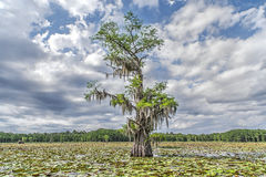 Tree on swamp Royalty Free Stock Image