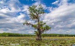 Tree in swamp Stock Image