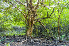 Tree in the swampland of Koh Chang Royalty Free Stock Image