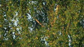 Tree Sways In Breeze At Sunset. Closeup of tree in evening sunlight stock footage