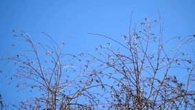 Tree sways the wind against the blue sky stock video footage