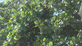 The tree sways in the wind. the tree has large green leaves and green fruit-like seeds. stock video