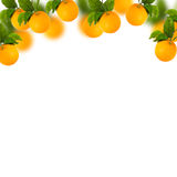 Tree of Sweet oranges with white background. And blur Royalty Free Stock Photo