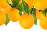 Tree of Sweet oranges with white background. And blur Stock Photo