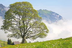 Tree in Swiss Alps Royalty Free Stock Photos
