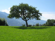 Tree in switzerland Stock Images
