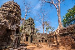 Tree in Ta Phrom, Angkor Wat, Cambodia. Royalty Free Stock Photography