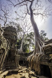 Tree in Ta Phrom, Angkor Wat, Cambodia, Asia. Stock Photo