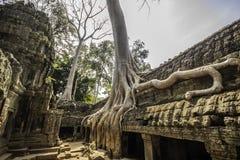 Tree in Ta Phrom, Angkor Wat, Cambodia, Asia. Stock Image
