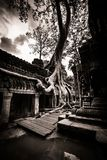 Tree of Ta Prohm, Angkor Wat Stock Images
