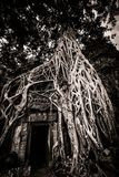 Tree of Ta Prohm, Angkor Wat Royalty Free Stock Images
