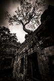 Tree of Ta Prohm, Angkor Wat Stock Image