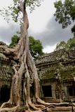 Tree in Ta Prohm, Cambodia Stock Photography