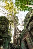 Tree at Ta Prohm, Cambodia Stock Image