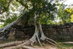 Tree at Ta Prohm, Cambodia stock photos