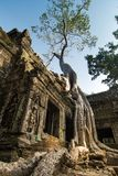 Tree at Ta Prohm, Cambodia Royalty Free Stock Images