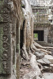 Tree at Ta Prohm Royalty Free Stock Images
