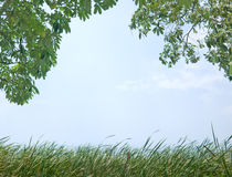 Nature background. Tree and tall grass with clear blur sky as in the concept of nature background Stock Images