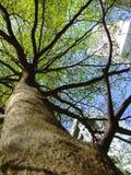 Tree. Tall green tree, look up to the sky Stock Photo