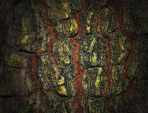Tree Tamarind. Bark Texture background Stock Photography