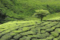 Tree at Tea Plantation Royalty Free Stock Photos