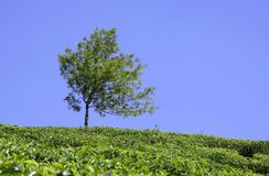 Tree at tea plantation Royalty Free Stock Image