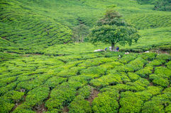 Tree in Tea Plantation in Cameron Highlands. A tree in Camerom Highlands, Malaysia sourrounded by tea plantations Stock Images