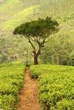 Tree on tea plantation Royalty Free Stock Photos
