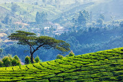 Tree in tea plantations. Tree on hill with tea plantations, Munnar, Kerala state, India royalty free stock image