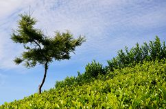 Tree, tea plantations and the sky Stock Image