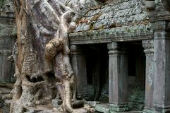 Tree on temple. Nature along side the acient ruins of preah khan angkor cambodia Stock Image