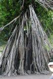 Tree at the temple of Pawon near Borobudur Royalty Free Stock Photo