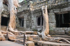 Tree and the temple through the thickness of the century. Cambodia Angkor Wat Royalty Free Stock Photography