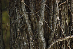 Tree Texture. A close-up image of a texture from a tree crawling with creepers and vines Stock Image