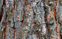 Texture of bark tree pine brown color background. Tree, texture, background, nature, natural, pattern, brown, old, abstract, macro, line, wooden, material royalty free stock photos
