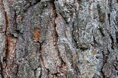Texture of bark tree pine brown color background. Tree, texture, background, nature, natural, pattern, brown, old, abstract, macro, line, wooden, material stock photography