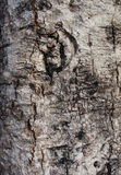 Tree texture. Tree body texture give a very rustic touch Royalty Free Stock Photos