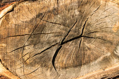 Tree texture. An old tree cuted off Stock Image