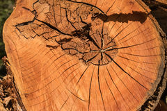 Tree texture. An old tree cuted off Royalty Free Stock Photo