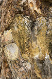 Tree texture. Royalty Free Stock Photography