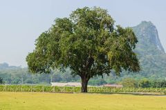Tree. For thailand royalty free stock photography