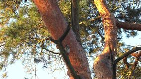 Woodpecker on an tree stock video footage