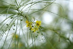 Tree with thin leaves and yellow blossoms Royalty Free Stock Photos