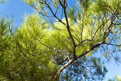 Tree with thorny branches closeup. Stock Image