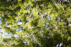 Tree with thorny branches closeup. Royalty Free Stock Images