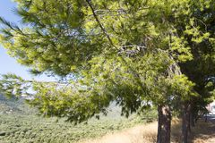 Tree with thorny branches closeup. Stock Images