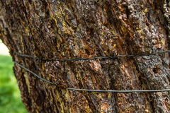 Tree tied wire. A bundle tree with barbed wire nailed to the bark Royalty Free Stock Images