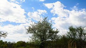 Tree Time Lapse. A Time Lapse with a tree in the middle with white flowers in the foreground, and a nice blue sky with a lot of clouds passing overhead stock video footage